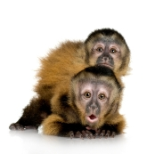 Two Baby Capuchins